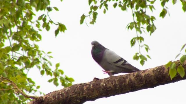 鳩の木の枝 - 小さめのハト点の映像素材/bロール