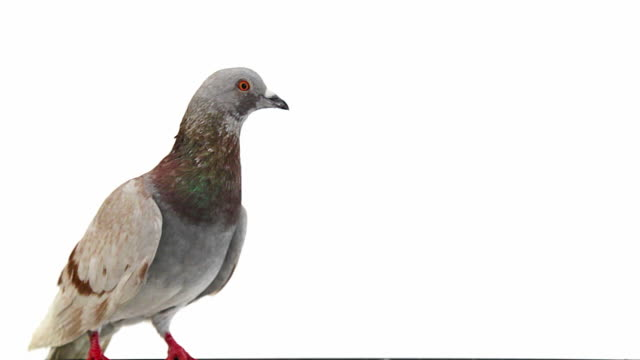 Pigeon on white background opens its beak