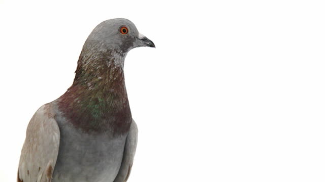 Pigeon on white background