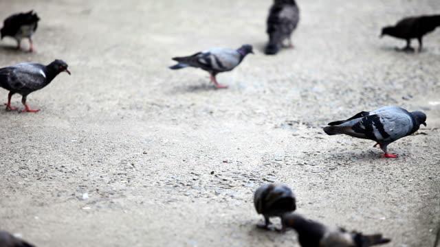 stockvideo's en b-roll-footage met hd pigeon pecking order feeding - pikken
