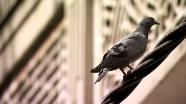 a pigeon perching on a thick wire takes off. - perching stock videos & royalty-free footage