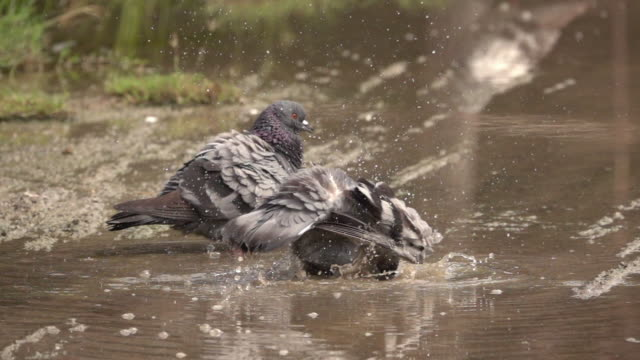 Pigeon playing water slow motion