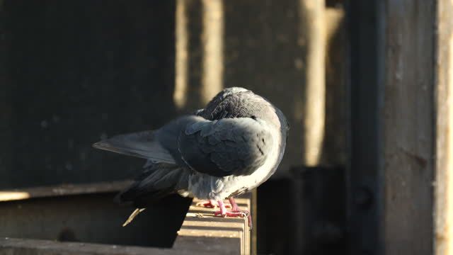 pigeon preening feathers on steel girder - construction frame stock videos & royalty-free footage