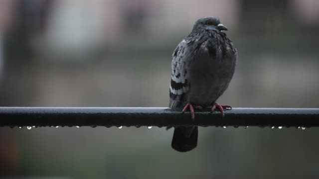 Pigeon sitting in the rain and shakes off water