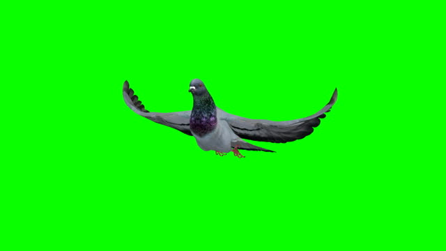 vídeos de stock e filmes b-roll de pigeon slowmotion green screen (loopable) - asa de animal