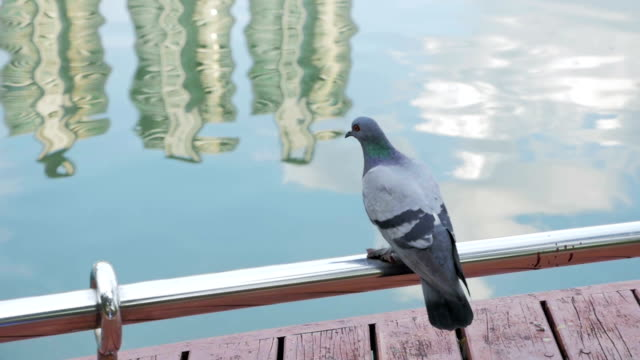 Pigeon Standing On Bars and fly,Slow motion