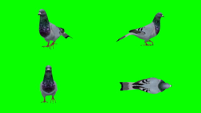pigeon walking green screen (loopable) - tail wing stock videos and b-roll footage