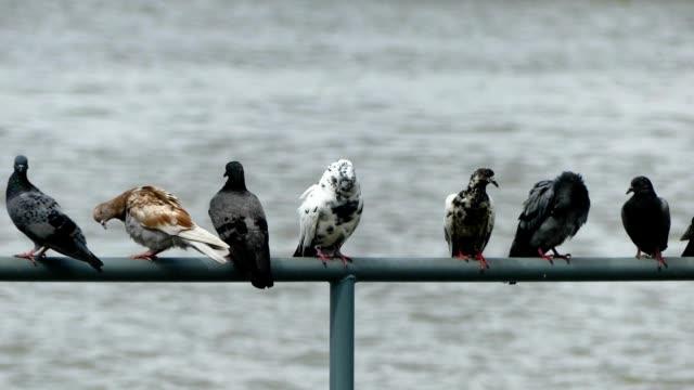 pigeons along chao phraya river, bangkok - foraggiamento video stock e b–roll