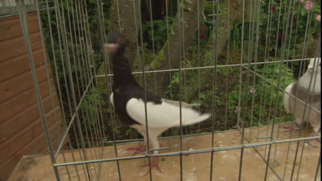 pigeons are seen inside a row of individual cages. - oxfordshire stock videos & royalty-free footage