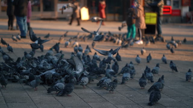 pigeons at bascarsija, an old part of sarajevo, during a sunny winter day getting fed by people - bosnia and hercegovina stock videos & royalty-free footage