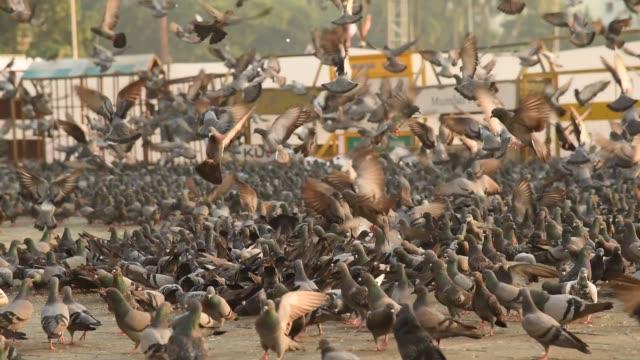 vídeos y material grabado en eventos de stock de pigeons at gateway of india, in morning, colaba, mumbai, india. - palomitas