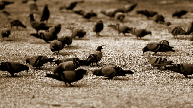 pigeons eating corn - sepia stock videos & royalty-free footage