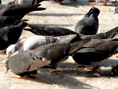 vídeos de stock e filmes b-roll de pombos comer na neve-parte 1, câmara lenta - gelo picado