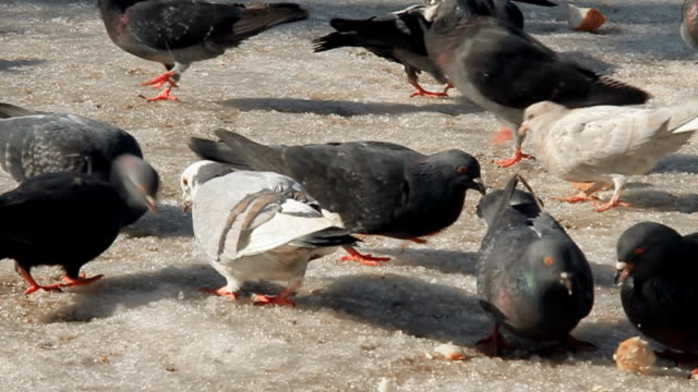 vídeos de stock e filmes b-roll de pombos comer na neve-parte 2, câmara lenta - gelo picado