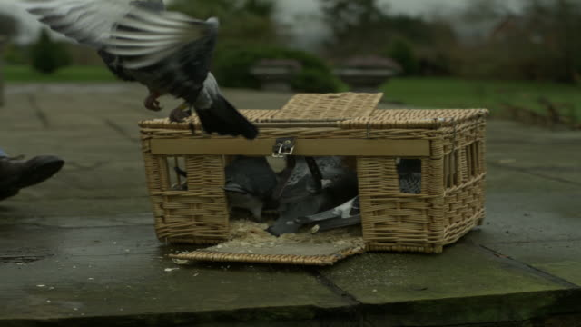 SLO MO pigeons (Columba livia) fly out of basket, UK
