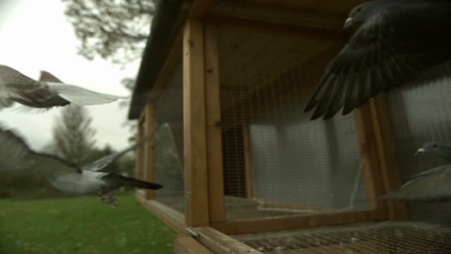 SLO MO pigeons (Columba livia) fly out of coop, UK