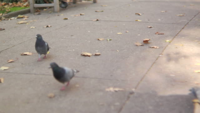 hd: pigeons in a park - park bench stock videos & royalty-free footage