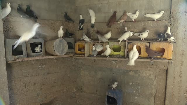 pigeons in aviary - animal nest stock videos & royalty-free footage