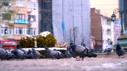 Pigeons in City