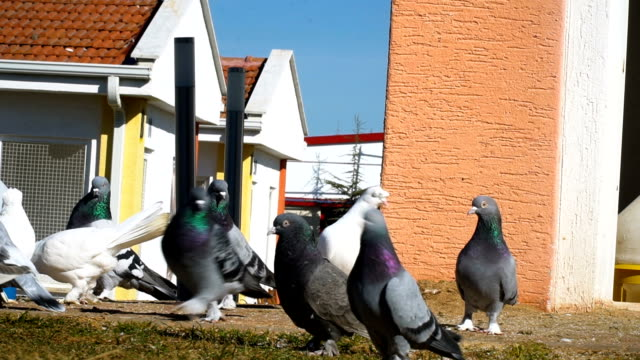 pigeons in hencoop - cartoon p stock videos & royalty-free footage