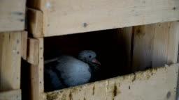 Pigeons in Hencoop