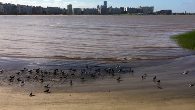 pigeons in the beach shore - montevideo stock videos & royalty-free footage
