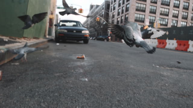 Pigeons in the streets of New York City