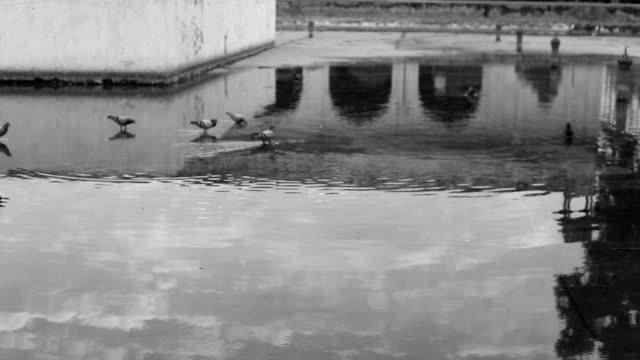stockvideo's en b-roll-footage met duiven in water - palestijnse gebieden
