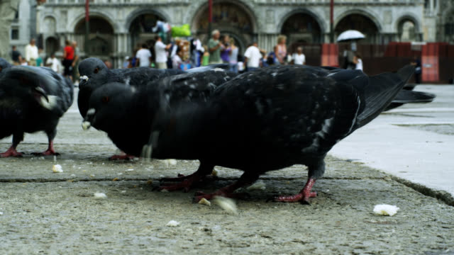 pigeons on piazza san marco - crumb stock videos & royalty-free footage
