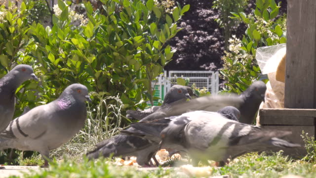 pigeons on public park - cartoon p stock videos & royalty-free footage