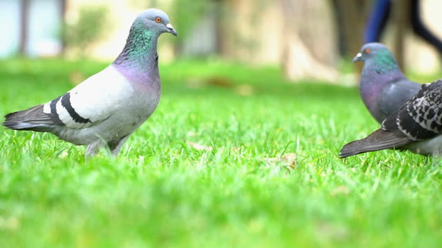 Pigeons on The Green Grass in Slow Motion