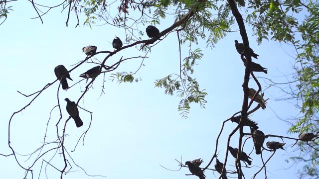 vidéos et rushes de les pigeons sur l'arbre - grand groupe d'animaux