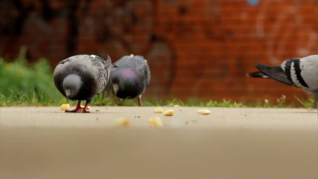 pigeons pecking crumbs - crumb stock videos and b-roll footage
