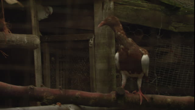pigeons perch in an enclosure. - oxfordshire stock videos & royalty-free footage