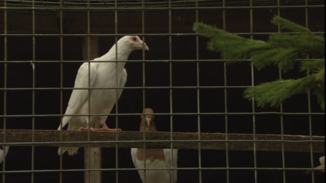 pigeons perch inside a cage. - oxfordshire stock videos & royalty-free footage