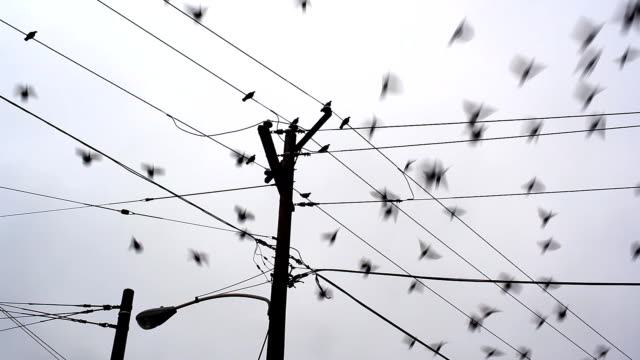 Pigeons perch on telephone wires then scatter.