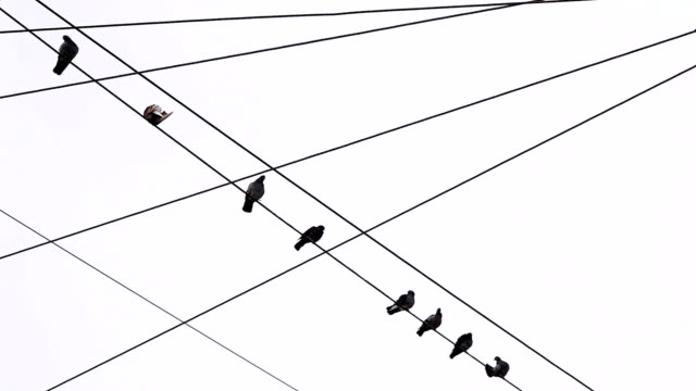 pigeons perch on telephone wires. - telephone line stock videos and b-roll footage