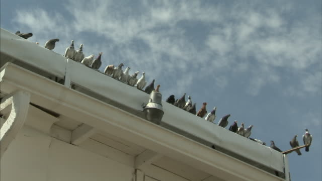 pigeons perch on the gutter of a building. - roof stock videos & royalty-free footage