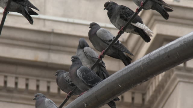 pigeons perched on a traffic light post - new york city - större duva bildbanksvideor och videomaterial från bakom kulisserna