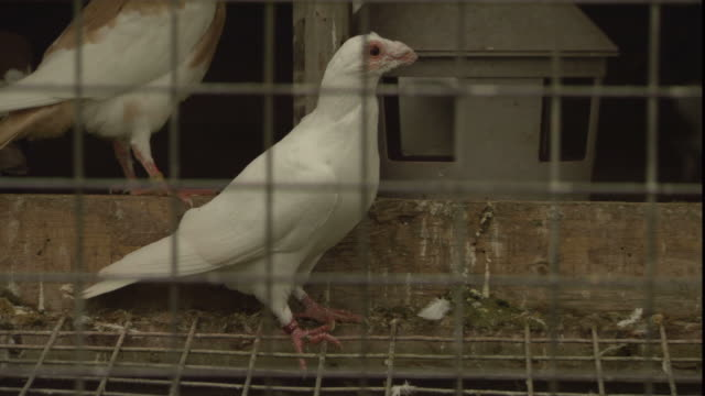 pigeons roost in a cage. - oxfordshire stock videos & royalty-free footage