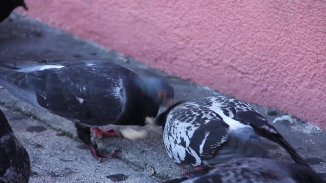 stockvideo's en b-roll-footage met pigeons search for food on sidewalk. starts on a close up and then zooms out. - pikken