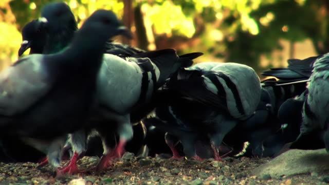 vídeos de stock, filmes e b-roll de pigeons - alto contraste