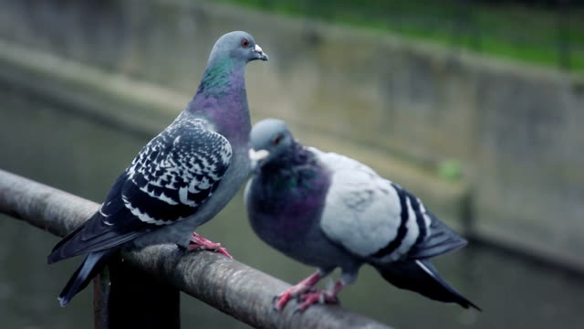 vídeos y material grabado en eventos de stock de pigeons - two animals