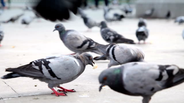 DOLLY: Pigeons
