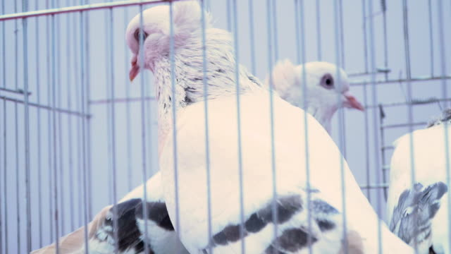 pigeons with black stripes - gabbietta per animali video stock e b–roll