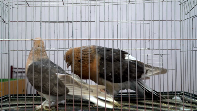pigeons with brown head - gabbietta per animali video stock e b–roll