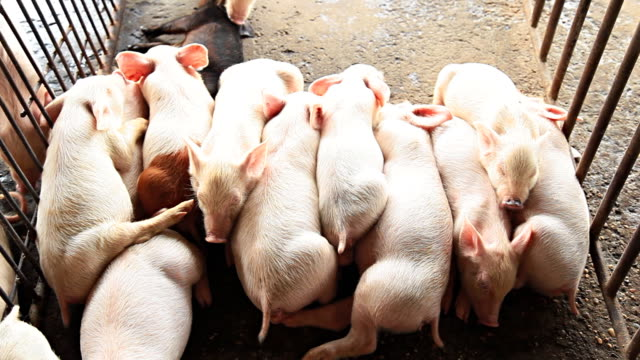 Piggy lying in pig farms.