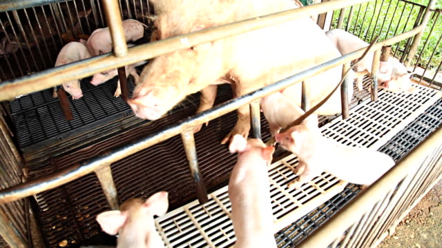 piggy that was eating breast milk. - griskulting bildbanksvideor och videomaterial från bakom kulisserna