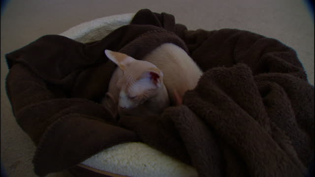 a piglet fidgets alongside a bambino cat as they rest in a blanket. - blanket stock videos & royalty-free footage