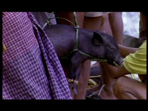 a piglet gets carried by straps. - schwein stock-videos und b-roll-filmmaterial